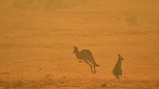 FOTO: Kanguru Jadi Korban Keganasan Kebakaran Hutan Australia