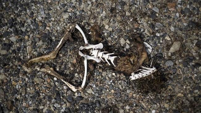 Bangkai hingga tulang rangka kanguru ditemukan hangus dalam sebuah kebakaran di Batlow, New South Wales, Australia. (SAEED KHAN / AFP)