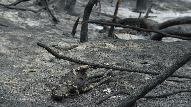 Selain koala, satwa endemik Australia seperti Kanguru dan echidna juga turut menjadi korban keganasan api.(James Ross/AAP Images via AP)
