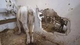 Kondisi kandang kuda yang kurang terawat. (Photo by Yasin AKGUL / AFP)