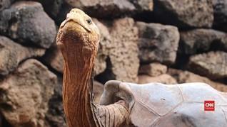 VIDEO: Diego, Kura-kura yang Bantu Spesies dari Kepunahan