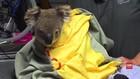 VIDEO: Akibat Kebakaran, Koala Australia Terancam Punah