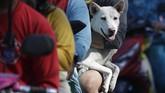 Alih-alih mengungsi, sejumlah warga memilih bertahan untuk merawat hewan peliharaan mereka.(AP Photo/Aaron Favila)