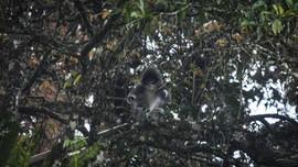 Primata Endemik Surili Berkeliaran di Permukiman Cianjur