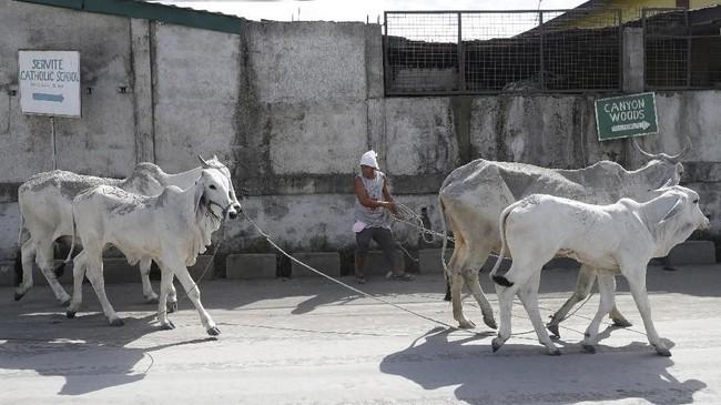 Sekujur tubuh sapi, kuda, babi, anjing, dan burung milik warga dipebuhi abu tebal dari erupsi gunung Taal. (AP Photo/Aaron Favila)