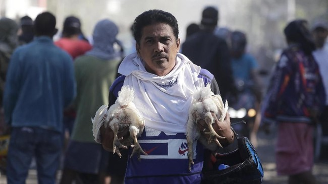 Tak sedikit juga kuda dan sapi yang setengah tubuhnya telah terkubur abu vulkanik. (AP Photo/Aaron Favila)