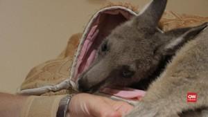 VIDEO: Relawan Selamatkan 17 Kanguru Korban Kebakaran Hutan