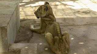 FOTO : Mirisnya Nasib Singa Ceking di Sudan