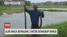 VIDEO: Ular Sanca 3 Meter Ditangkap Warga