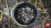 Warga bisa mengumpulkan ikan betik lebih dari 10 kilogram. Selain untuk konsumsi, ikan juga dijual sebagai bahan terasi maupun ikan kering. CNNIndonesia/Safir Makki.