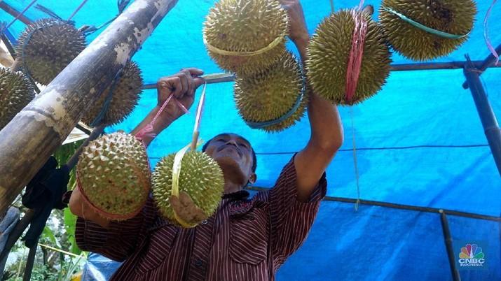 Melihat Petani Durian Borongan Khas Rumpin Bogor. (CNBC Indonesia/ Muhammad Sabki)