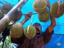 Soal Durian RI Pun Kalah Telak dengan Malaysia, Kok Bisa?