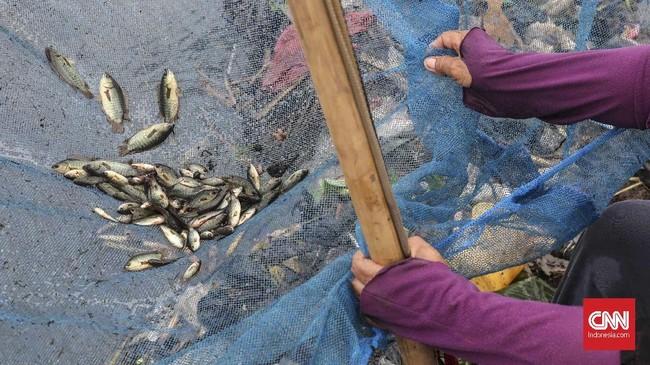 Ikan betik yang diperoleh sebagai bahan konsumsi dijual kembali ke pasar, Desa Wates, Kecamatan Tambun, Kabupaten Bekasi, Jawa Barat, Selasa (21/1). CNNIndonesia/Safir Makki.
