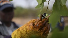 FOTO : Kegalauan Petani Ulat Mopane, Camilan Kering Botswana