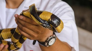 Camat Sebut Ular Weling di Bandung Ditemukan Korban di Sawah