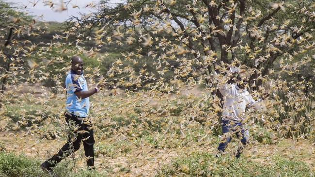 Dua pria Samburu yang bekerja untuk tim penanganan bencana dikelilingi oleh kawanan belalang, di dekat desa Sissia di Kenya. (AP Photo/Patrick Ngugi)