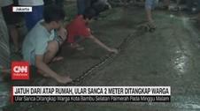 VIDEO: Ular Sanca Sepanjang 2 Meter Ditangkap Warga