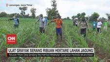 VIDEO: Ulat Grayak Serang Ribuan Hektare Lahan Jagung