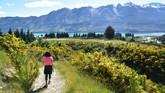 Seorang pendaki melintasi rute pendakian di Gunung Judah, Glenorchy, Selandia Baru, yang sedang ditumbuhi bunga liar berwarna kuning. (Malcolm Foster via AP)