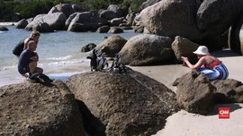 VIDEO: Interaksi Wisatawan Ancam Populasi Penguin Afrika
