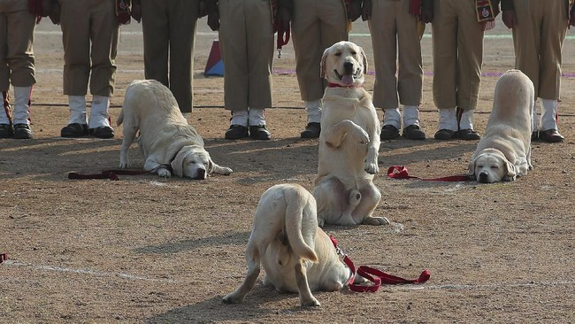 Pasukan anjing Indian Railway Protection Force(RPF) memperlihatkan keterampilan selama perayaan Hari Republik di Hyderabad, India, Minggu, (26/1). Acara itu menjadi peringatan konstitusi demokratis negara itu sejak 1950. (AP Photo/Mahesh Kumar A.)