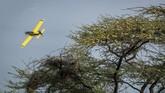 Belalang gurun sedang makan di pohon Acasia sementara pesawat penyemprot pestisida terbang di atasnya. (AP Photo/Ben Curtis)