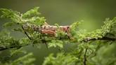 Seekor belalang gurun sedang hinggap di dahan pohon di Desa Katitika, Kitui, Kenya. (AP Photo/Ben Curtis)