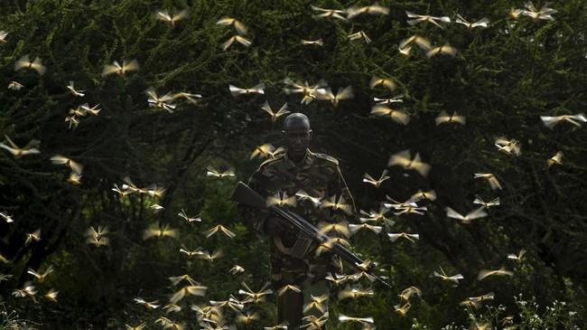 Seorang ranger, Gabriel Lesoipa dikelilingi oleh belalang gurun saat menyampaikan titik koordinat yang perlu disemprotkan pestisida. (AP Photo/Ben Curtis)