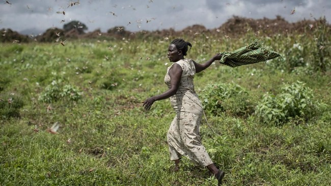 Seorang petani mengibaskan syalnya untuk mengusir gerombolan belalang gurun dari hasil panennya di Kitui, Kenya. (AP Photo/Ben Curtis)
