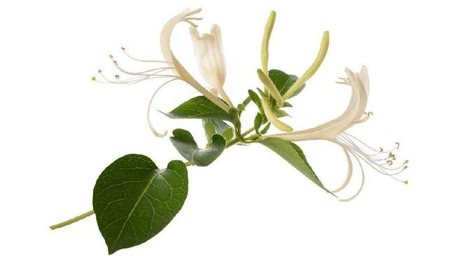 Temuan Obat Herbal Virus Corona Tuai Perdebatan dan Kepanikan