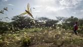 Belalang-belalang gurun berhamburan terbang ke udara kala juru kamera lewat di kawasan Konservasi Nasuulu, Kenya Utara. (AP Photo/Ben Curtis)