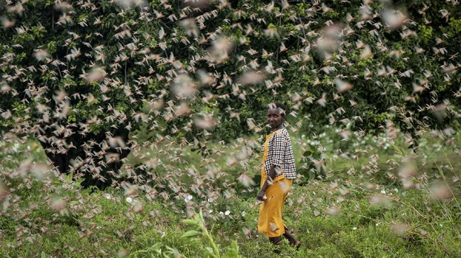 Seorang petani berjalan di antara gerombolan belalang gurun yang membabat habis hasil tanamnya di Kitui, Kenya. (AP Photo/Ben Curtis)