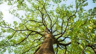 Fakta Pohon Pule Si Pengganti Mahoni di Monas