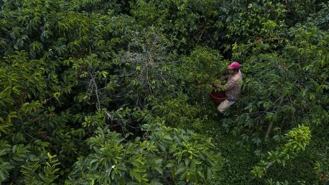 Kopi Geisha dari Panama diklaim sebagai kopi spesial dan termahal di dunia pada 2019 lalu. (Luis ACOSTA/AFP)
