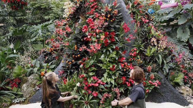 Pemelihara tanaman mengecek kondisi anggrek saat kunjungan wartawan ke Kew Gardens 25th Annual Orchid Festival, pada Kamis 6 Februari 2020. Festival anggrek pertama dengan tema Indonesia ini memajang lebih dari 5.000 anggrek. (AP Photo/Frank Augstein)