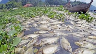 Puluhan Ton Ikan di Danau Maninjau Mati, Bau Busuk Menyengat