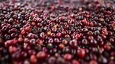 Namun Wilford mengatakan bahwa sampai saat ini belum ada kopi Geisha yang menandingi biji kopi Geisha dari Panama ini. (Luis ACOSTA/AFP)