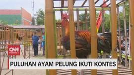 VIDEO: Puluhan Ayam Pelung Ikuti Kontes