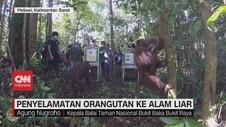 VIDEO: Penyelamatan Orangutan ke Alam Liar
