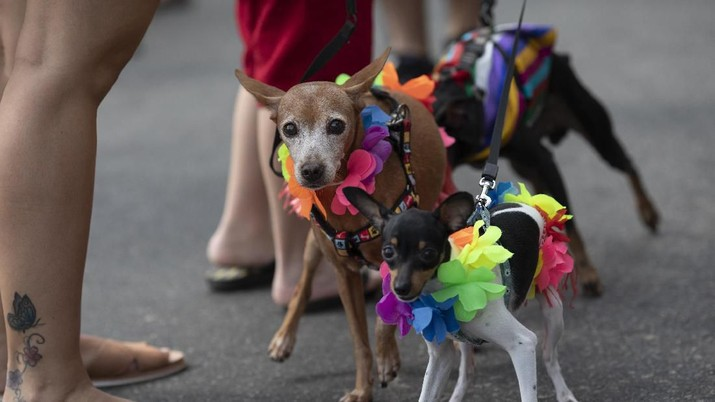 Sejumlah Anjing Tampil Dengan Kostum Unik Di Karnaval Brasil.