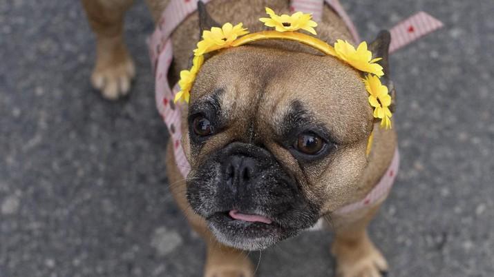 Bukan Manusia, Anjing Tertular Corona di Hong Kong