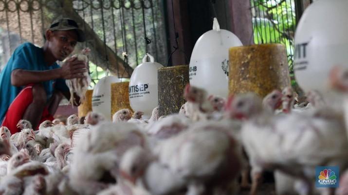 Peternak memanen telur ayam di peternakan kawasan Gunung Sindur, Bogor, Jawa Barat, Selasa (18/2/2020). Pemerintah resmi menaikkan harga acuan daging dan telur ayam ras untuk mengimbangi penyesuaian tingkat harga di pasar yakni harga telur ayam di tingkat peternak dinaikkan dari Rp18 ribu-Rp20 ribu per kg menjadi Rp19 ribu-Rp21 ribu per kg sedangkan daging ayam ras dinaikkan dari Rp18 ribu-Rp19 ribu per kg menjadi Rp19 ribu-Rp20 ribu per kg. Lukman 45 tahun Peternak  mengatakan kenaikan harga tersebut sebagai hal yang positif. Sebab, bila tidak hal itu tentu dirasakan merugikan. Pasalnya, saat ini nilai tukar dolar terhadap rupiah tengah menguat dan mempengaruhi berbagai hal, termasuk biaya transportasi.  (CNBC Indonesia/Muhammad Sabki)