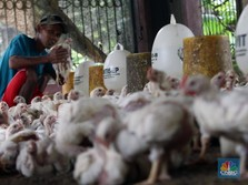 Awas! RI Terancam Serangan Ayam Impor, Kok Bisa?