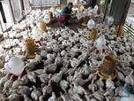 Intip Aktivitas Peternak Telur Ayam yang Cuan Belasan Juta