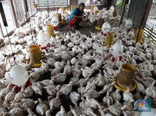 Viral Ayam Rp 770.000/Ekor & Babi Rp 9 Juta/Ekor Kementan