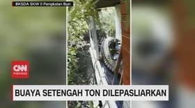 VIDEO: Buaya Setengah Ton Ngamuk Saat Akan Dilepasliarkan