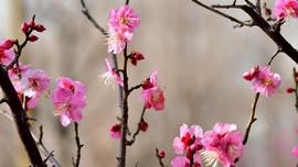 Musim Mekar Pohon Plum yang Tak Kalah Indah dari Sakura