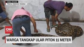 VIDEO: Warga Tangkap Ular Piton 11 Meter