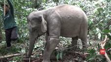 VIDEO: Evakuasi Gajah DI Aceh Timur