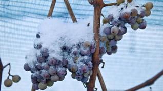 Tak Ada Ice Wine German Karena Musim Dingin yang 'Hangat'